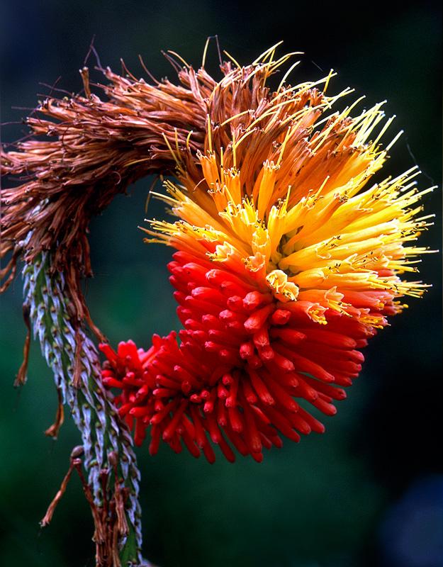 Red Hot Poker - Flowers