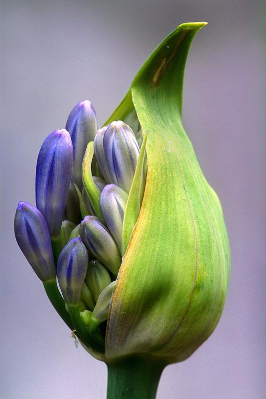 Agapanthus - Flowers