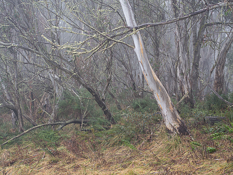 Gums in mist - Snowy Mountains