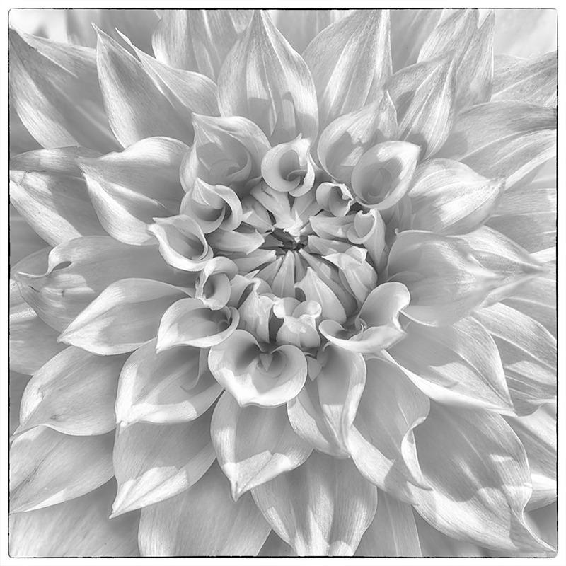 Dahlia #2 - Botanicals