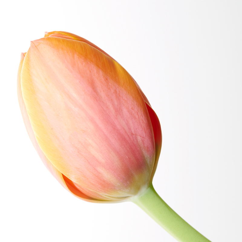One tulip - Recent Work