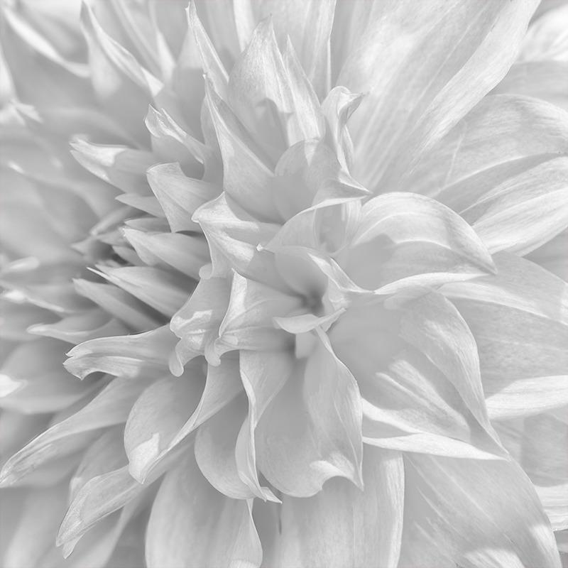 Dahlia #3 - Botanicals