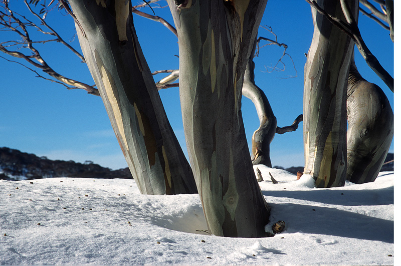 Snow Gums - Water