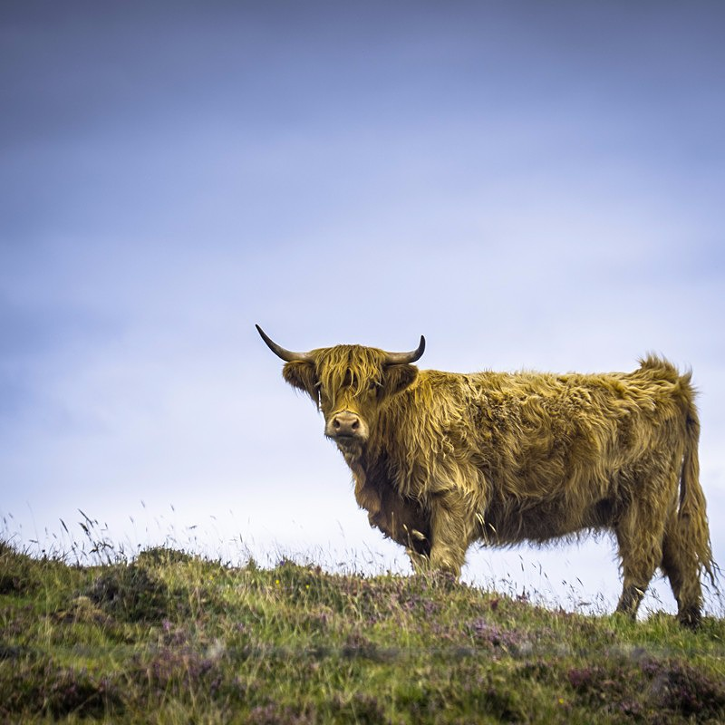 Scotland landscape photography of a highland cow, North Uist, Scotland