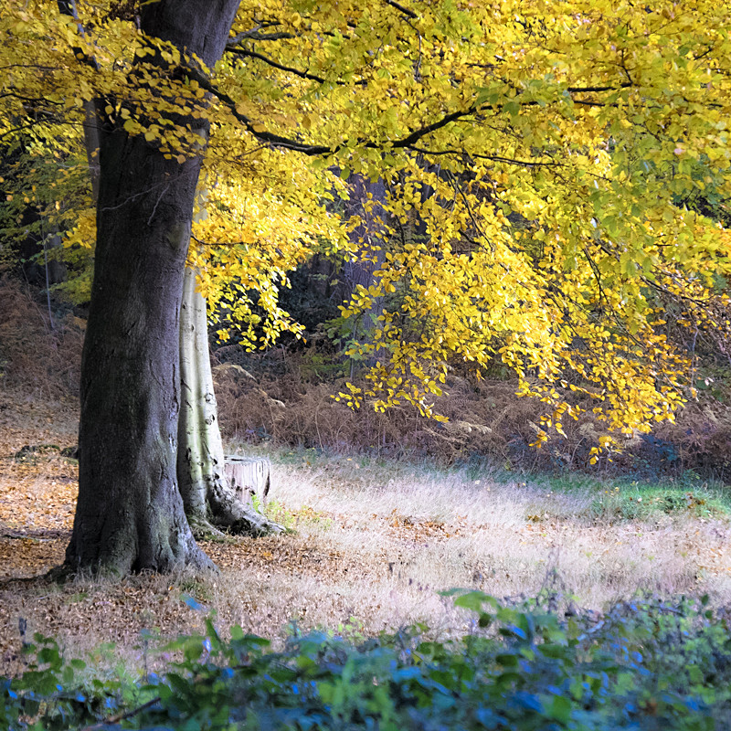 Norfolk landscape photograph of autumn woodland at Blickling