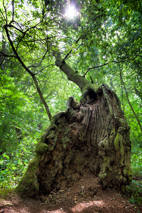 400 year old oak tree at Hayley Wood Nature Reserve