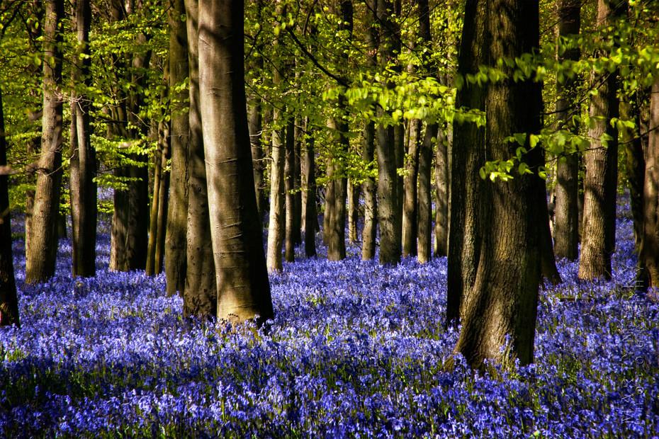 Carpet of bluebells on the Ashridge Estate