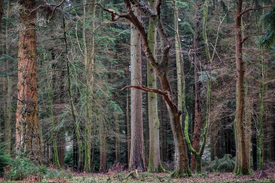 A collection of trees along the Tall Tree Trail in the New Forest