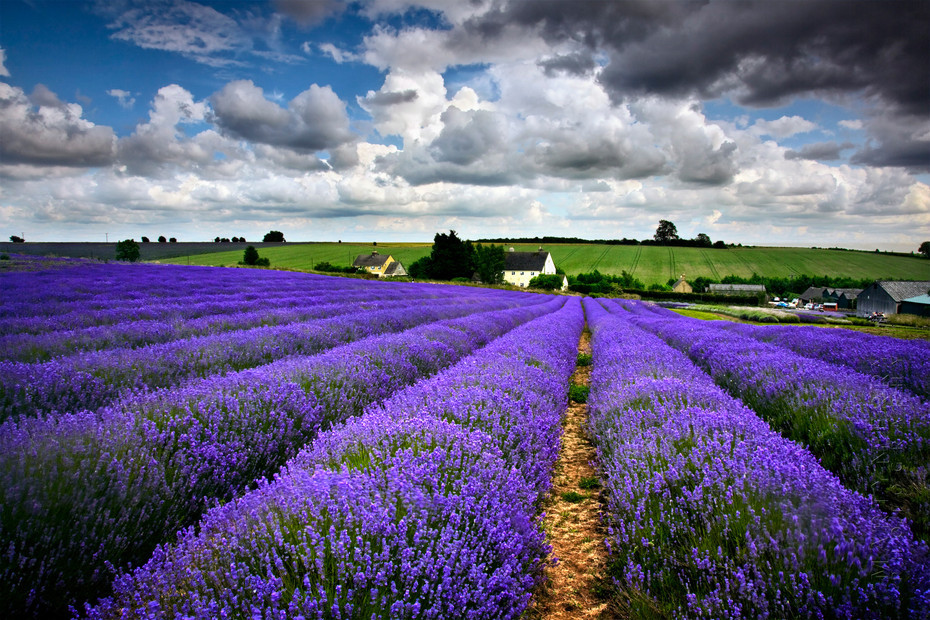 Image looking along the rows of lavender at Snowshill towards a beautiful sky