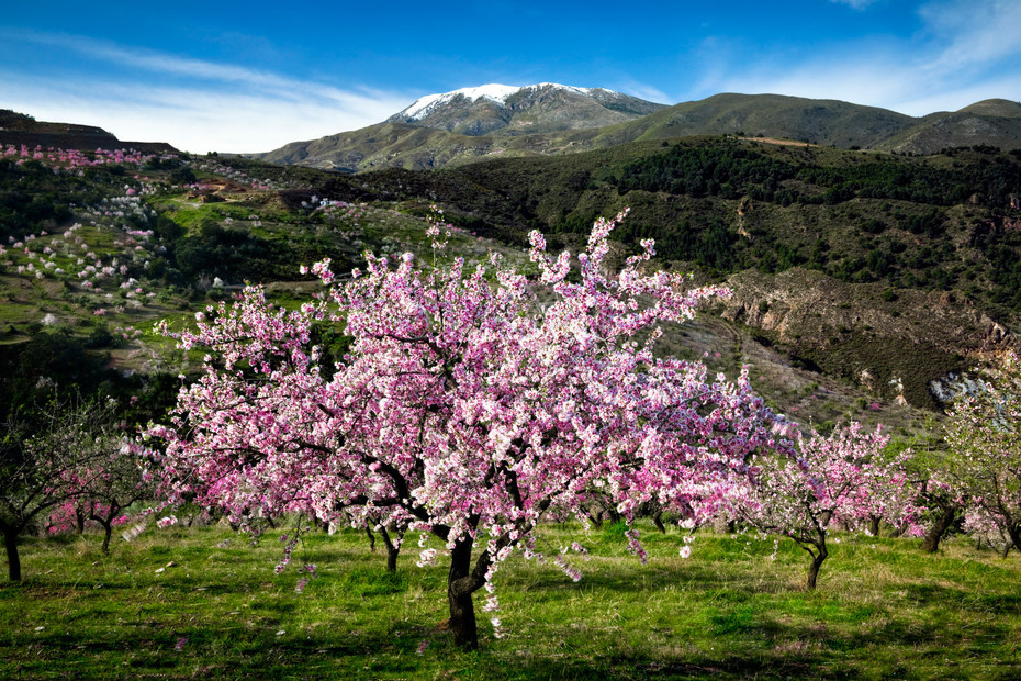 Stunning pink blossom on almond tree