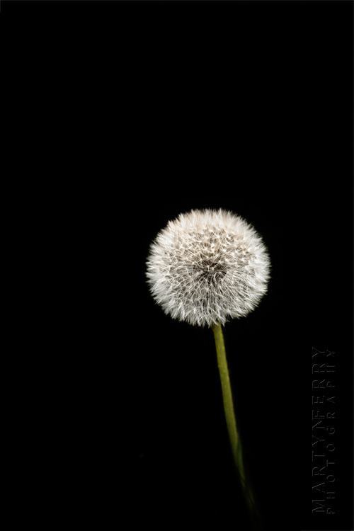 Fine art flower photography of a dandelion head