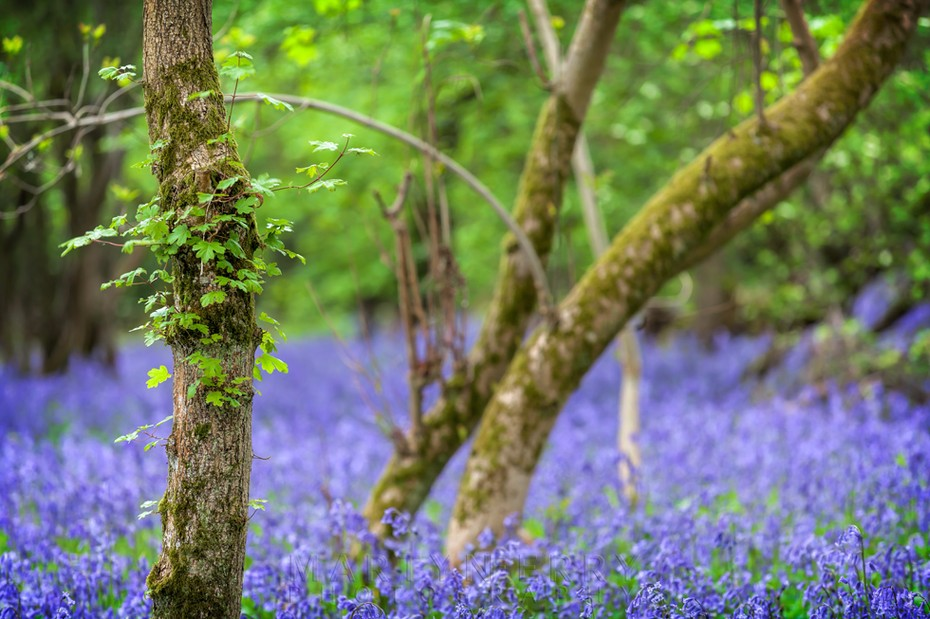 Bright blue bluebells litter the woodland floor at Brampton Wood