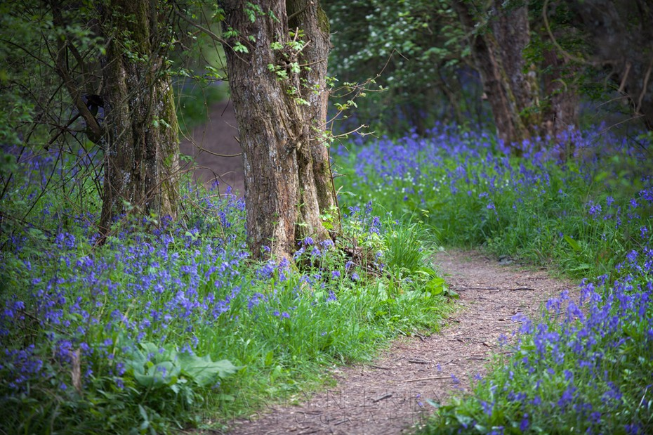 A pathway through the bluebells at Brampton Wood