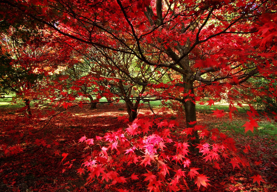 Vibrant red Acer at Westonbirt Arboretum