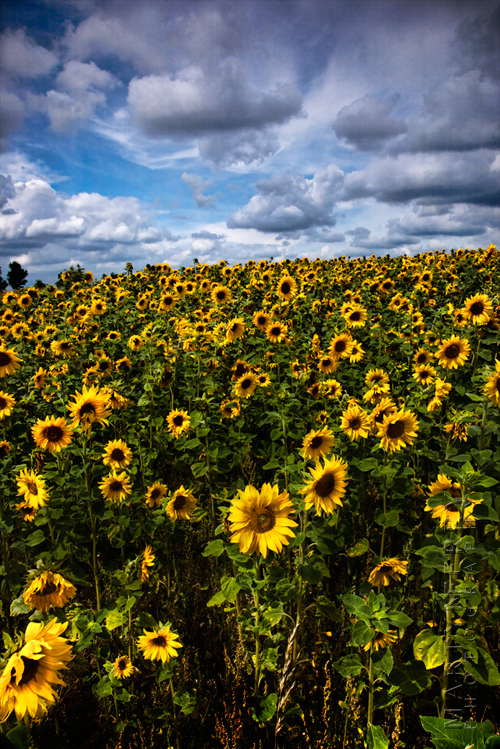 Fabulous field of sunflowers on a Cotswolds summers day