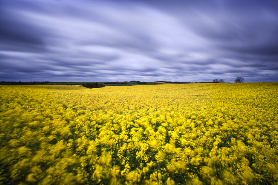 Striking photo of a yellow field under dramatic clouds
