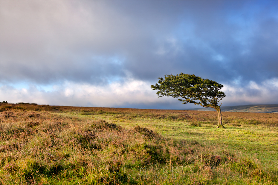 Windswept tree on the moors in Exmoor National Park