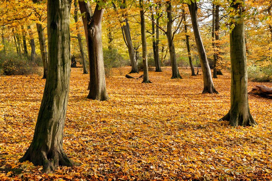 Colourful autumn carpet at Hinchingbrooke Country Park