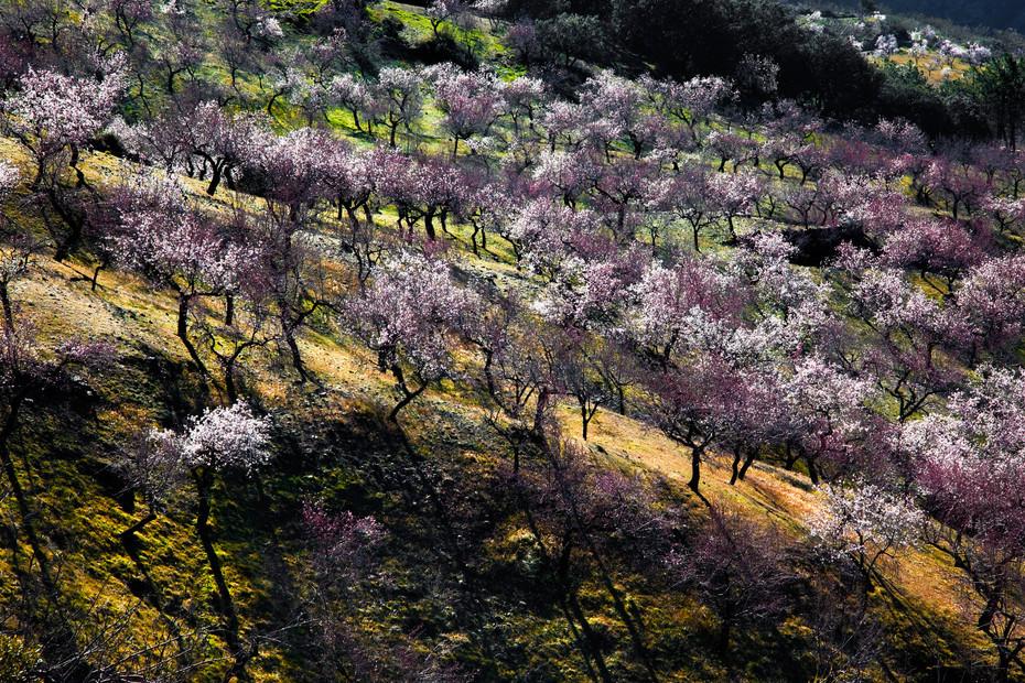 Sunrise light on almond trees in blossom