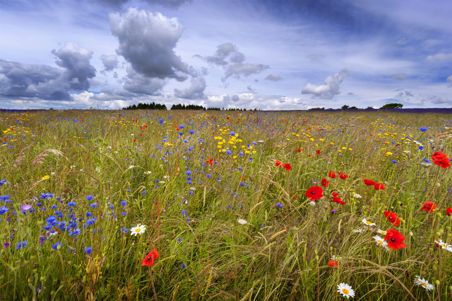 Photograph of cornflowers in Snowshill Cotswolds