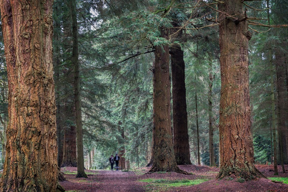 People are dwarfed by giant trees in the New Forest