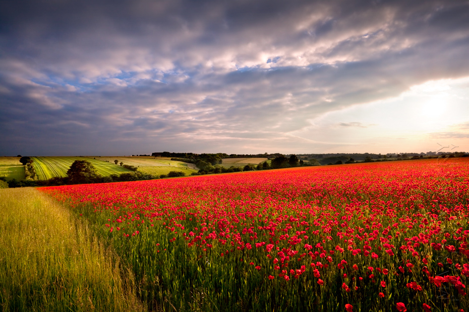 Beautiful sunlight on a field of poppies in the Cotswolds