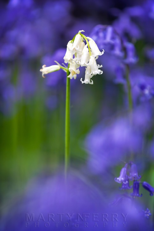 White bell close up in a bluebell woodland