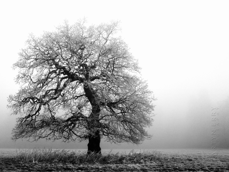 Lone skeletal tree in the freezing fog at Westonbirt Arboretum