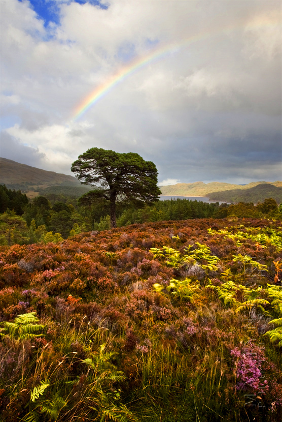 Beautiful Glen Affric image of a rainbow over a field of heather