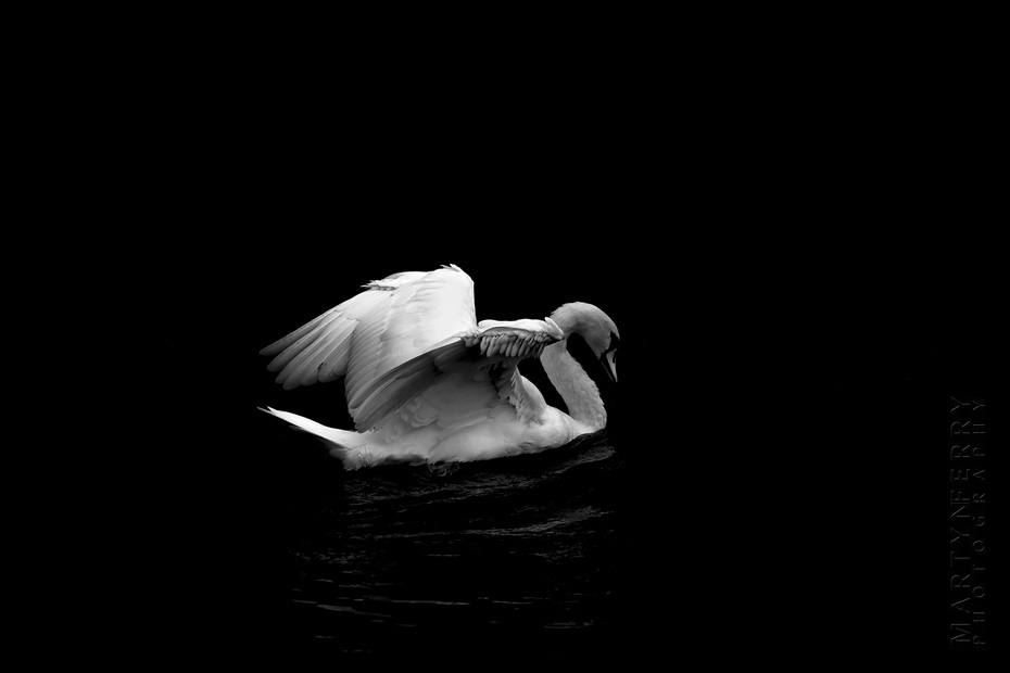 Photo of a white swan opening wings as it floats over water