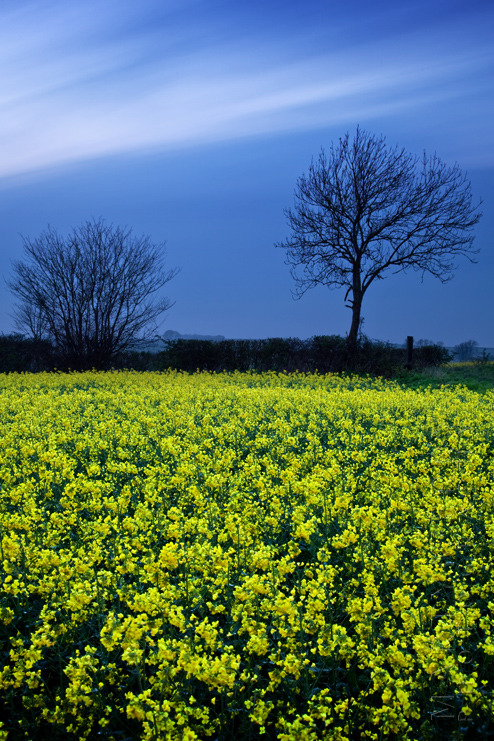 Long exposure photograph of a Cotswold rape field on a spring evening
