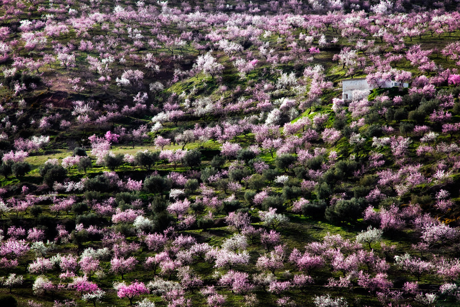 Amazing view of almond trees in blossom