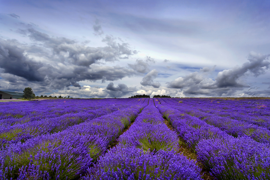 Striking image of lavender rows in the Cotswolds