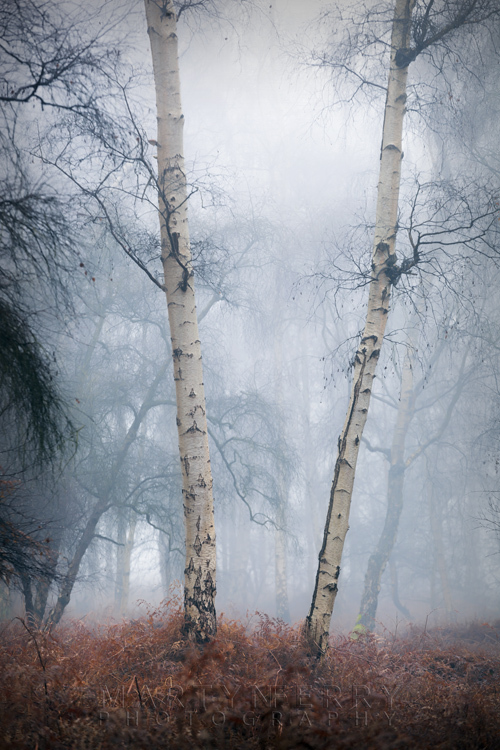 Two silver birch trees at Holme Fen