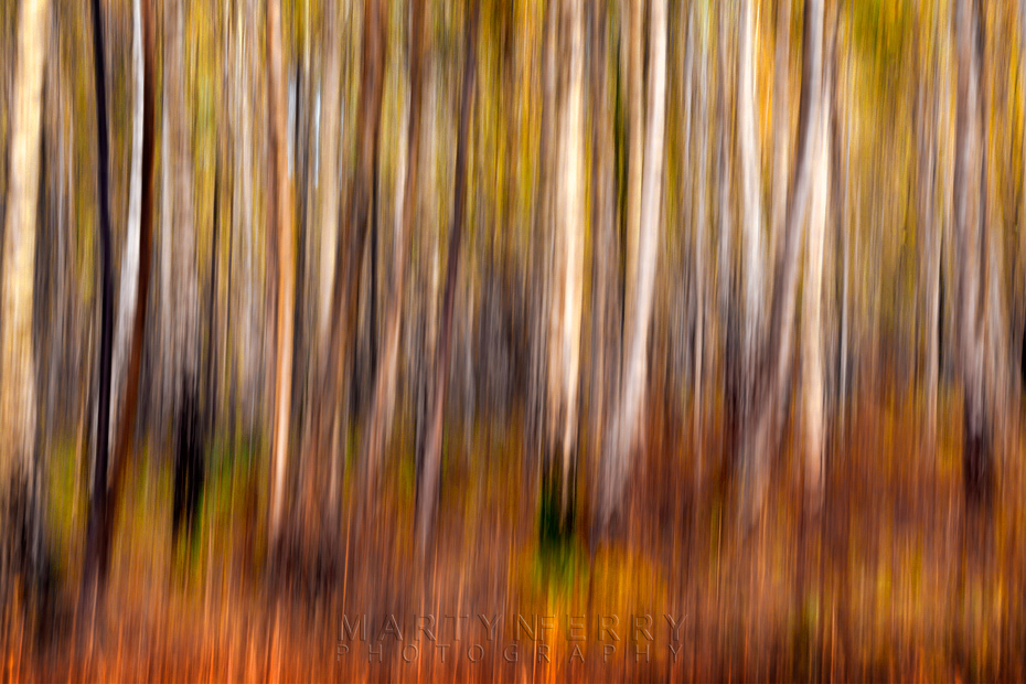Silver birch trees with camera movement at Holme Fen