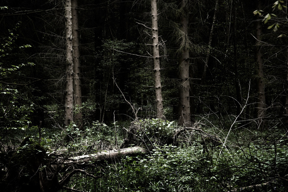 Dark atmosphere in this image of a pine woodland