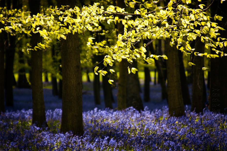 Beautiful view of bluebells and beech trees
