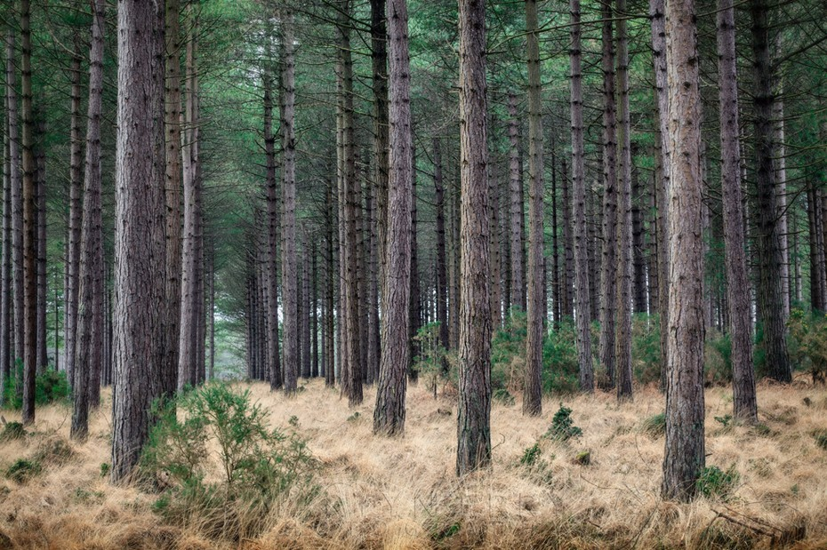 Tall pine trees and emerald canopy in Studland Dorset