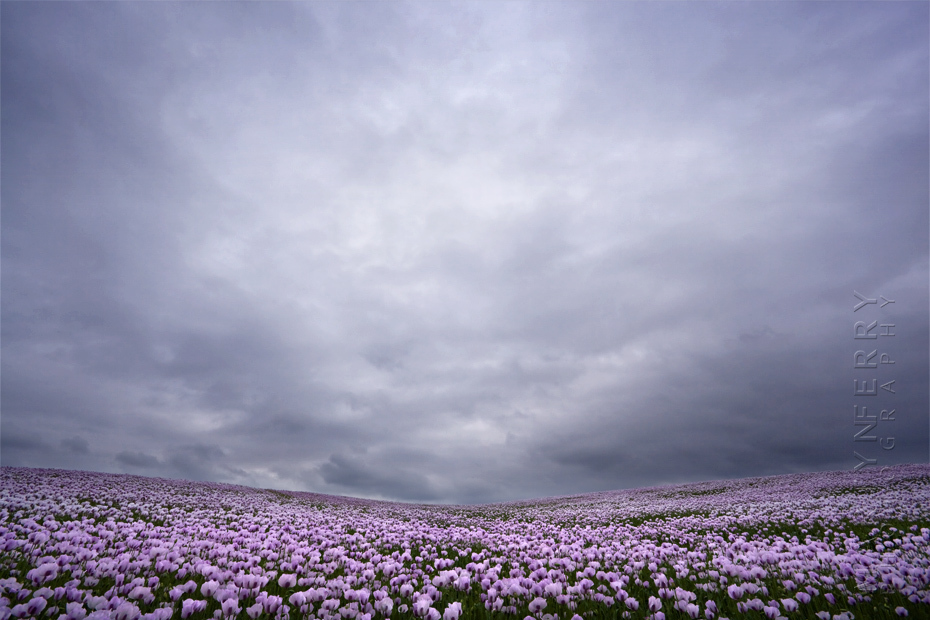 Amazing field of pink poppies under clouds