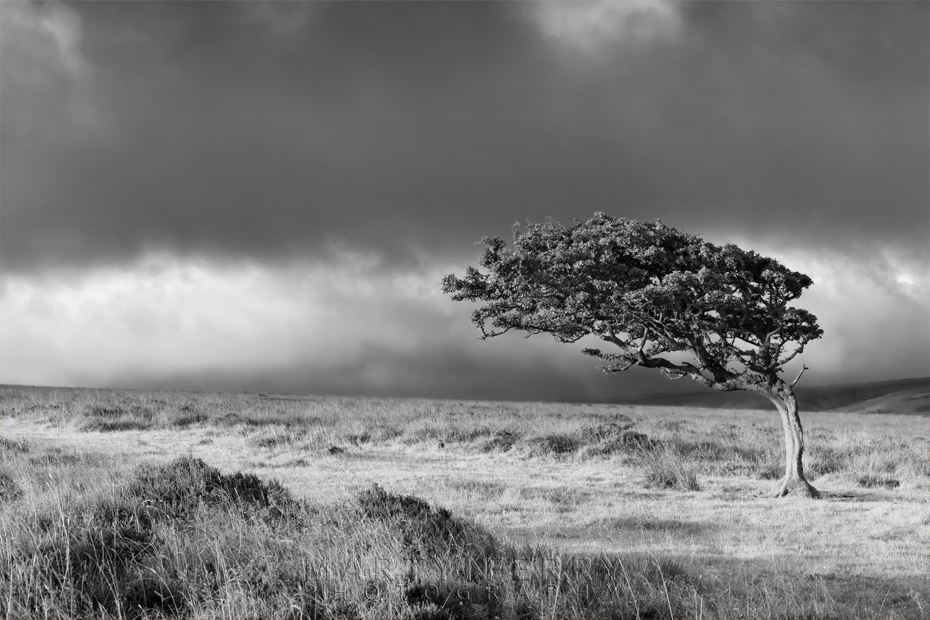 Black and white image of solitary tree in Exmoor National Park