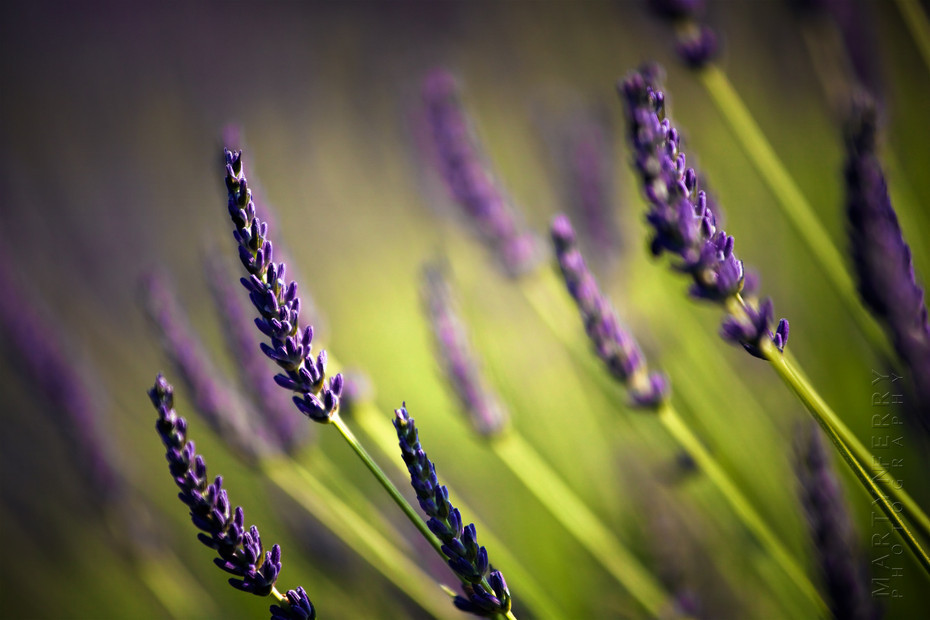Beautiful image of lavender flowers up close