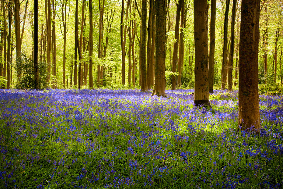 Sunlight falls onto a glade of bluebells