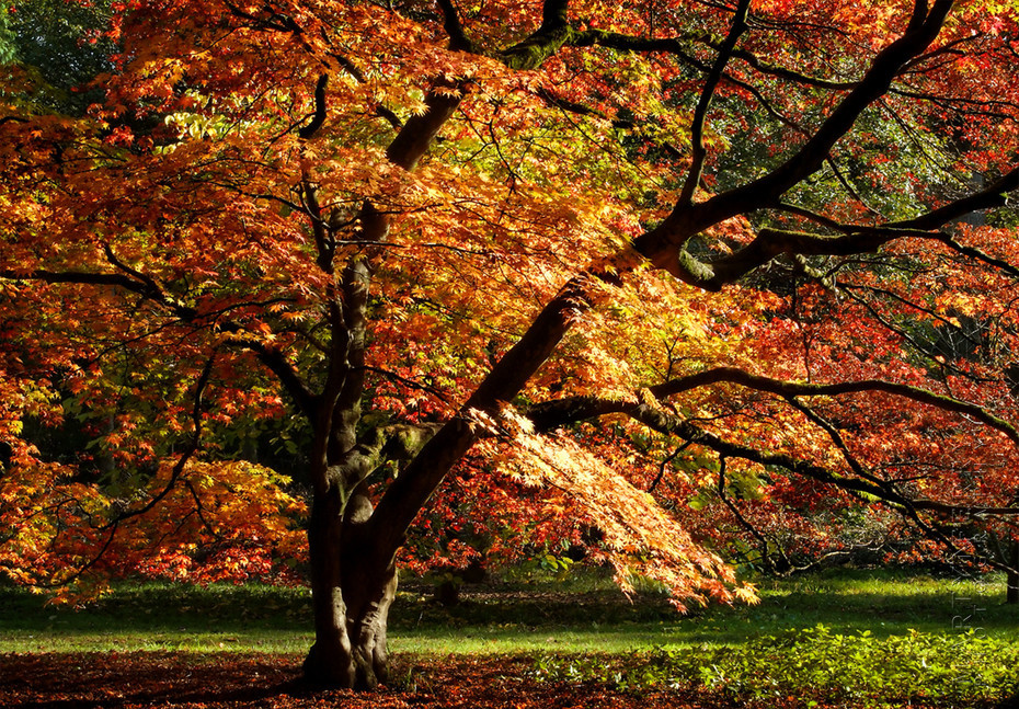 Stunning Japanese Maple in autumn glory at Westonbirt Arboretum