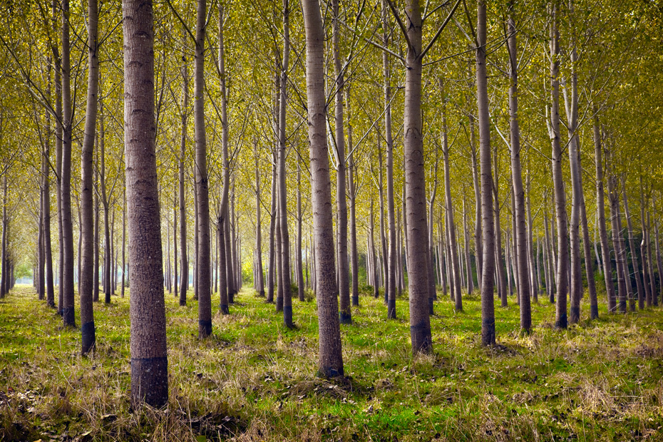 Stunning stand of trees in the Dordogne in the morning sunshine