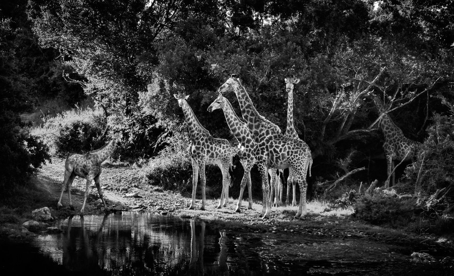 Beautiful image of Giraffes drinking