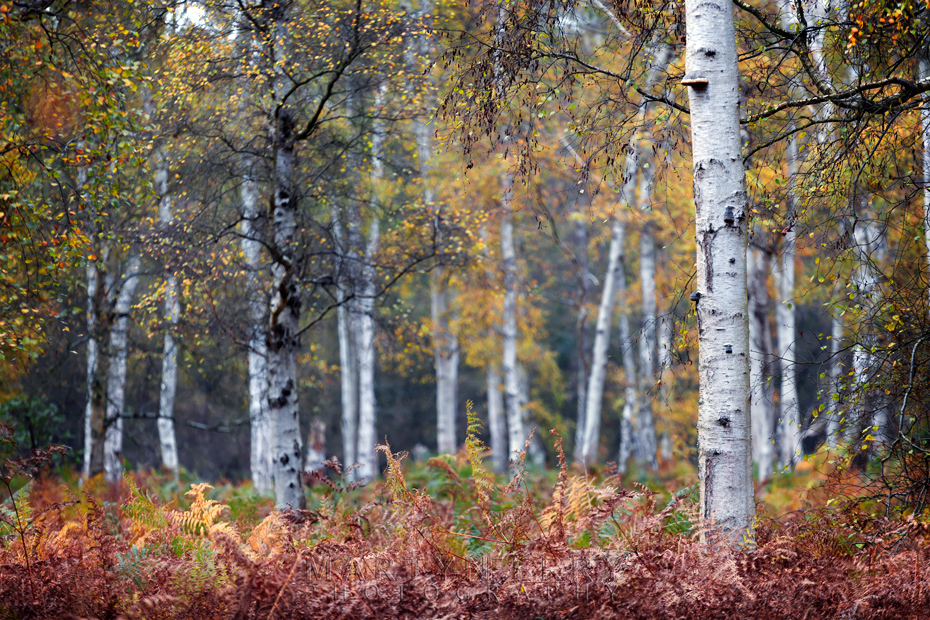 Silver birch trees in autumn colour at Holme Fen