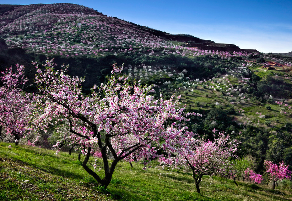 Vibrant image of almond tree in blossom
