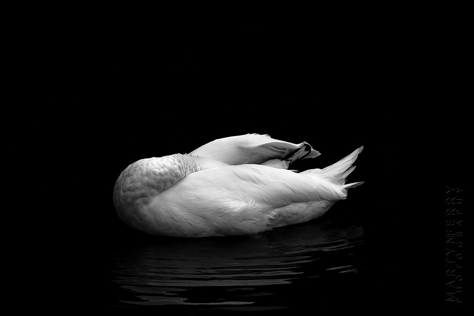 Interesting photograph of a grooming white swan