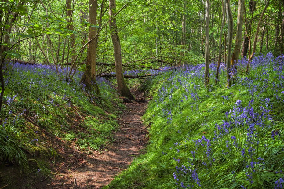 Bright blue bluebells on the banks of this dry woodland stream bed