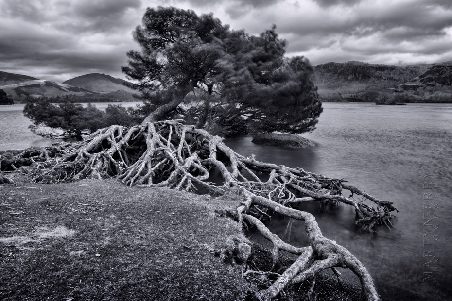 Windswept tree at Derwentwater